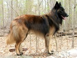 belgian sheepdog colors belgian tervuren breed