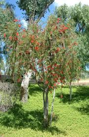 bottlebrush tree eat the weeds and other things