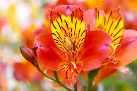 peruvian lilies peruvian aspca