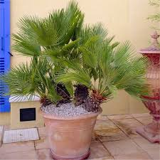 mediterranean fan palm tree humilis hardy mediterranean fan palm 60 70cms tall