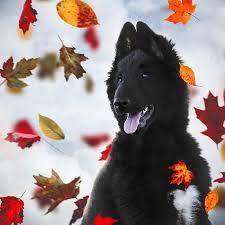belgian sheepdog traits belgian shepherds wolf shadow photography fine art animal