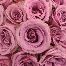lavender roses curiosa lavender purple