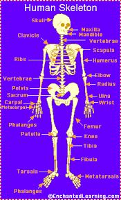 Anatomy Of The Human Skeleton Human Skeleton Enchantedlearning Com