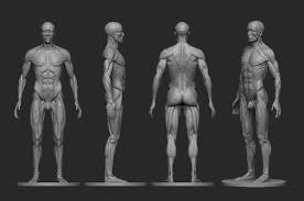 Female Body Reference For 3d Modelling 3d Printable Model Male Ecorche Human Anatomy Reference