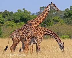giraffe photos by ravi
