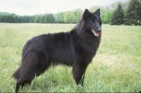 belgian shepherd rescue qld belgian sheepdog breed information and pictures on puppyfinder com
