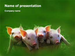 pig presentation template for powerpoint and keynote ppt star