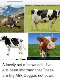 Big Milk Meme - a lovely set of cows edit i ve just been informed that these are big