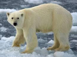 free printable hidden words game polar bears