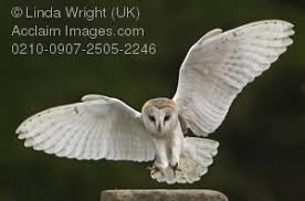 Barn Owl Photography Photography Image Of A Barn Owl In Flight