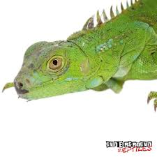 iguanas for sale red greens u0026 blues underground reptiles