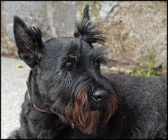 scottish yerrier haircuts scottish terrier dog grooming instruction