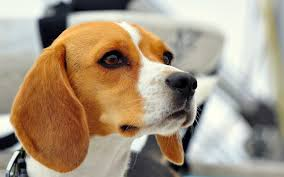 download wallpaper 2560x1600 dog beagle muzzle ears puppy