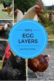 chicken breeds backyard chickens with top 5 best egg laying