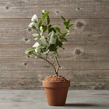 lemon tree in terra cotta pot williams sonoma