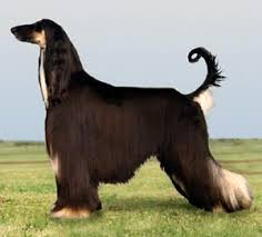 afghan hound weight afghan hound breed guide learn about the afghan hound