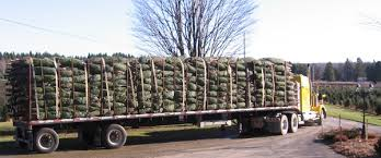 christmas tree delivery mailhot and plantations christmas tree grower news
