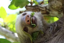 4 toed sloth three toed sloth