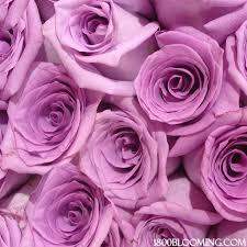 bulk roses bulk roses lavender 1 800 blooming