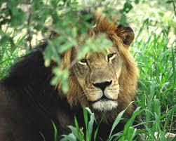 imagenes de leones salvajes gratis nuevas fotos hd de leones fondos de escritorio gratis