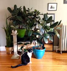 indoor plants the rubber tree leaf and paw