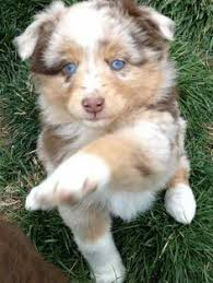 movies with australian shepherds in them 39 photos for anyone who u0027s just having a bad day candy shop