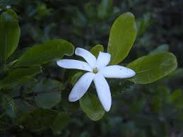 picture of gardenia flower gardenias summer snow gardenia live