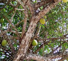 the calabash or tree gourd grows in mexico s open grasslands the