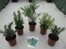 5 mixed trees conifers thuja juniper taxus yew interesting