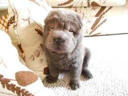 cute shar pei puppy shar peis like me bear coats rule