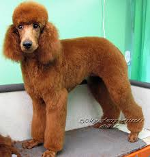 grooming your furry friend does a poodle have to be groomed like