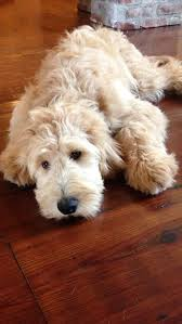 doodle for adoption indiana 12 reasons why you should never own labradoodles dogs and cats