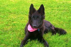 belgian sheepdog canada 5 things to know about groenendaels petful