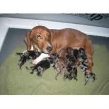 affenpinscher puppies for sale in texas darlin dachshunds dachshund breeder in el campo texas