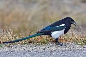 Magpie Birds In Backyards Black Billed Magpie Bird Watcher U0027s Digest