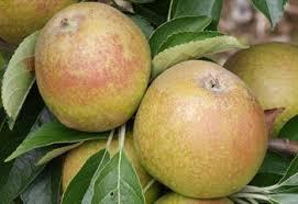 Online Fruit Trees For Sale - rosemary russet apple trees for sale buy online friendly advice