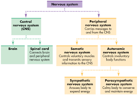 nervous system organization answer key lesson plan in science 6
