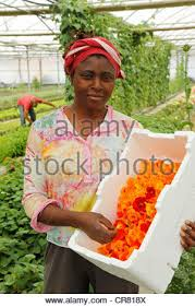 edible flowers for sale harvesting edible garden nasturtium tropaeolum majus flowers for