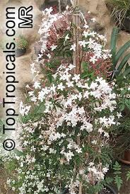 star jasmine on trellis toptropicals com rare plants for home and garden