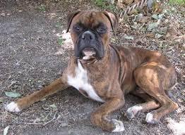 boxer dog rescue meet teddy male boxer lone star boxer rescue houston tx