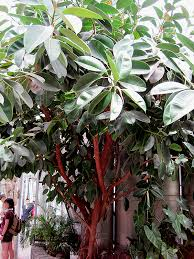 rubber tree ficus elastica in st louis missouri mo at thies