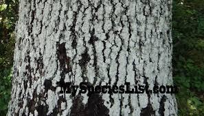 White Oak Tree Bark Oak Trees Eastern North America New England U0026 Canadian Maritimes