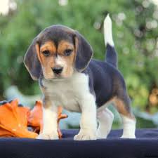 puppies for sale beagle puppies for sale beagle breed information greenfield