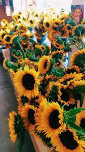 single sun flower wallpapers 477 best sunflowers images on pinterest sunflowers sunflower