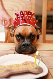 boxer dog meme boxer birthday really mom i have to go thru all this for a