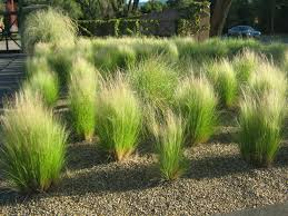 garden mexican feather grass lowes grass seed harmony sod
