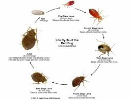 How To Get Rid Of Bed Bugs Yourself Fast Bed Bugs Pictures Actual Size Stages And Skin Bites