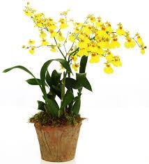oncidium orchid oncidium orchid floresnaweb