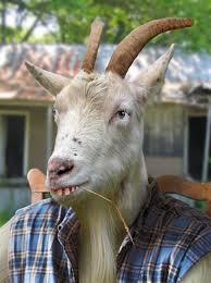 Billy Goat Meme - th id oip g97cet8gup8iduqmk qgjqhaj7