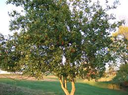 Apple Tree In My Backyard Unusual Jujube Fruits Earn A Second Opinion U2014 Veggie Gardening Tips